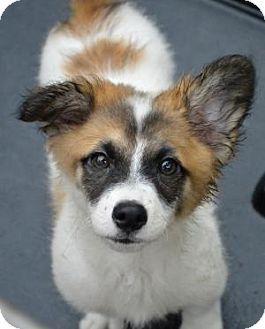 Tomball Tx Corgi Australian Shepherd Mix Meet Robby A Puppy