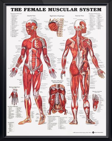 muscular system: female anatomy poster | muscular system, female, Muscles