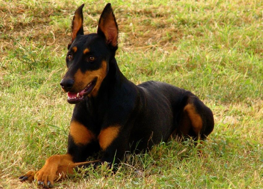 Doberman Shepherd Doberman Pinscher German Shepherd Mix Info