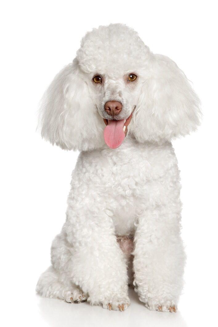 Miniature Poodle Smartest Dog Breeds Dog Breeds Toy Poodle Puppies