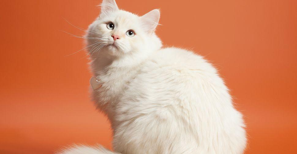Meet The White Cat Breeds White Cat Breeds White Kittens White Cats