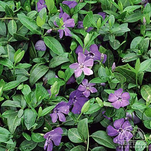 Plant Profile For Vinca Minor Blue Periwinkle Perennial