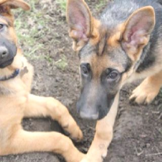 Tebow Puppy Pic German Shepherd Puppies Dogs Animals