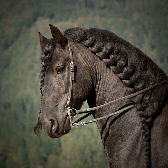 Beautiful HairStyle For Horses