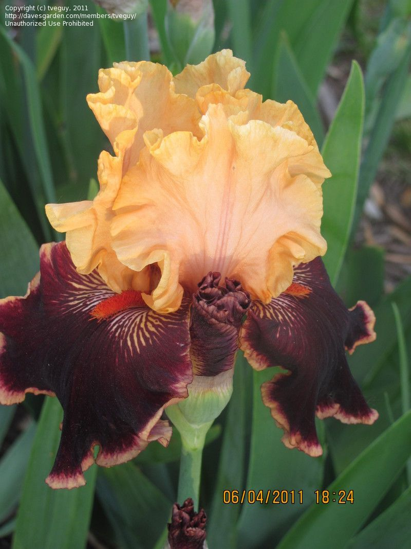 TB Iris germanica 'Glamour Pants' (Blyth, 2004)