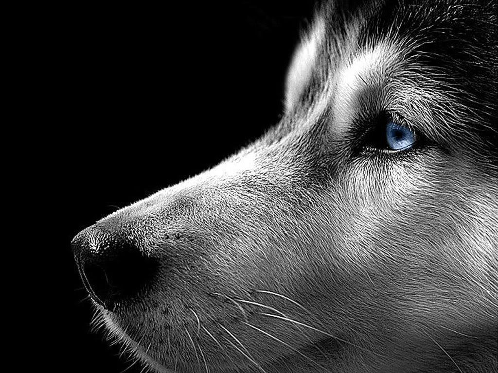 Siberian Husky Close Up Siberian Husky Pinterest Dogs Husky
