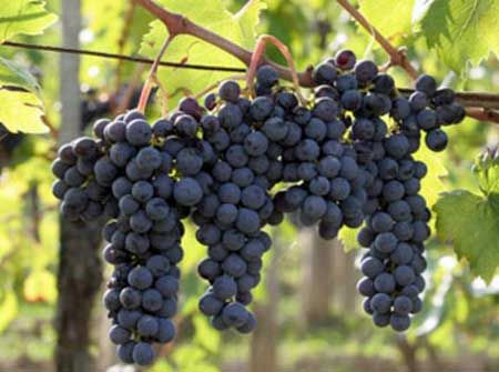 Montepulciano d'Abruzzo grapes ready for harvest