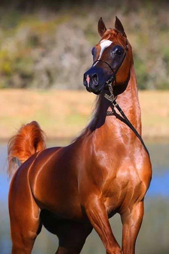 Chestnut Beauty - Warmblood - Horsezone  Chestnut Beauty