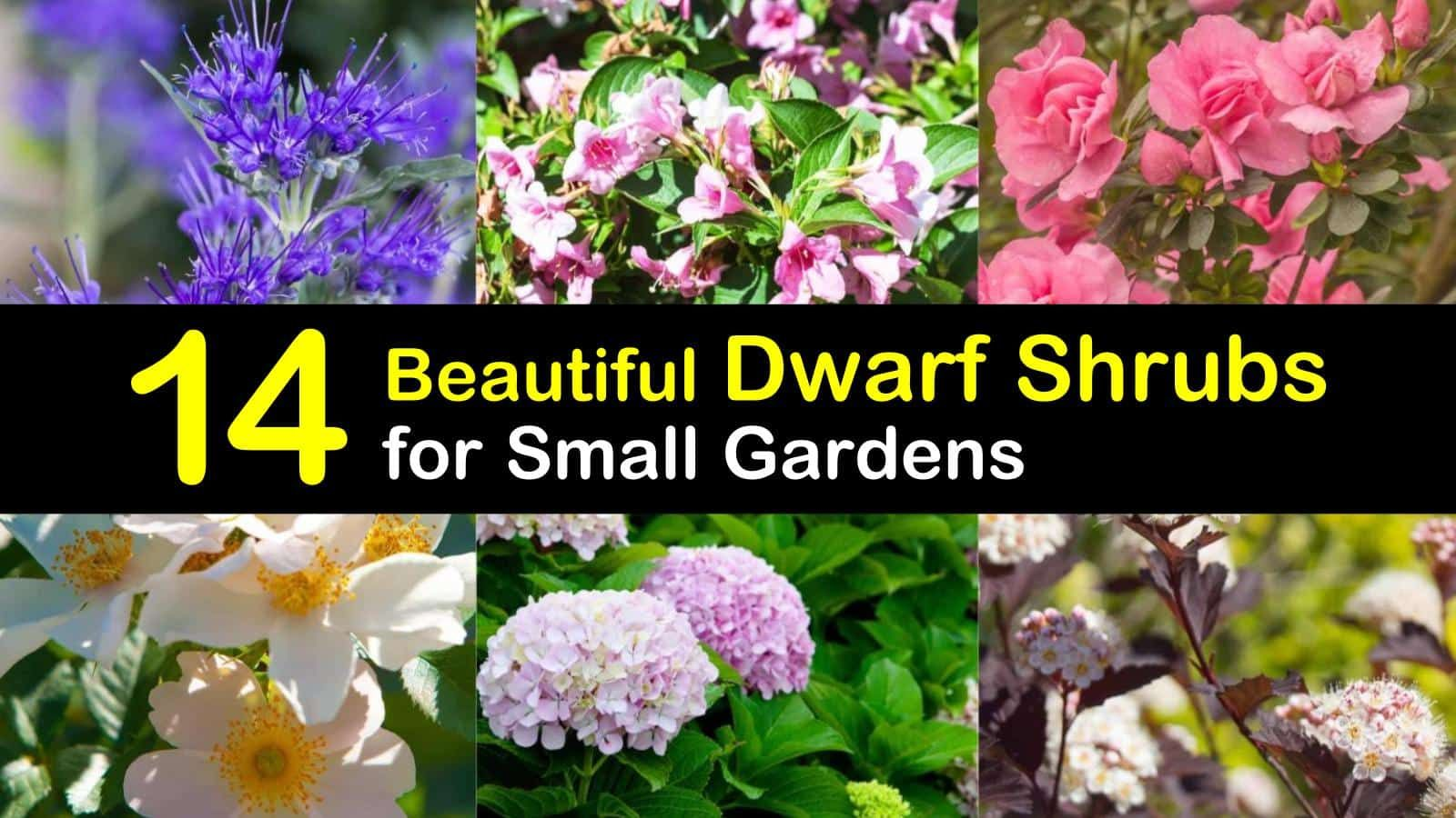 14 Beautiful Dwarf Shrubs For Landscaping Small Gardens Dwarf Shrubs Shrubs For Landscaping Small Evergreen Shrubs
