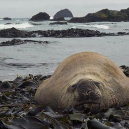 ©M & G Therin-Weise / M&G Therin-Weise - Australia - State of Tasmania - Macquarie Island