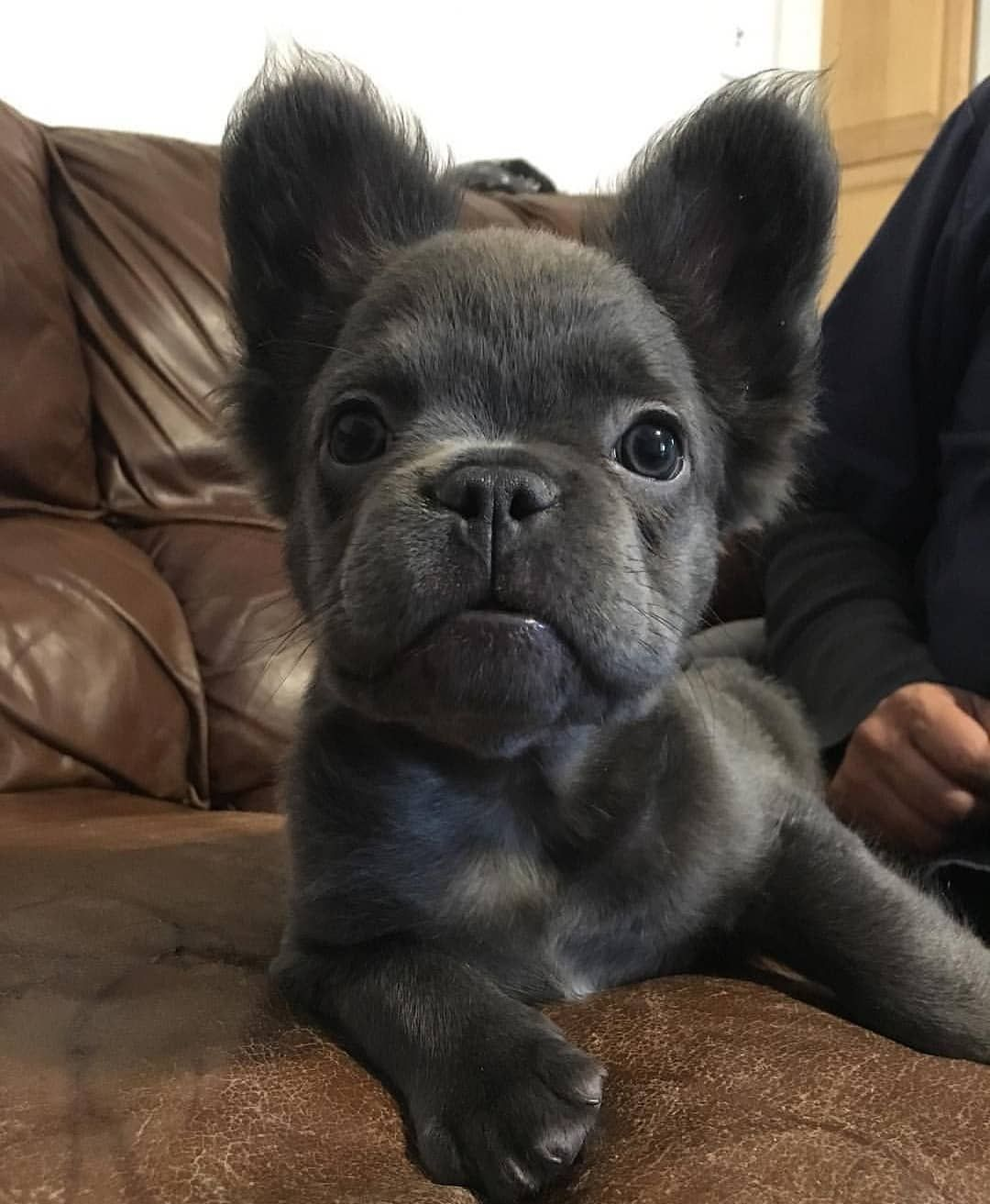 Fozzy The Fluffy Frenchie Simply The Best Fash
