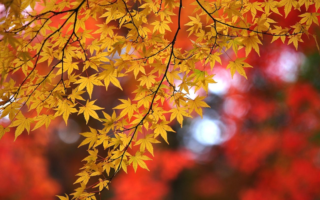 Download Nature Autumn Maple Branches Leaves Hips 2k 4k