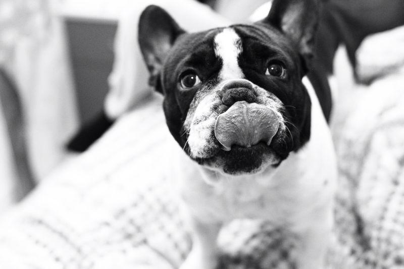 French Bulldog tongue!!