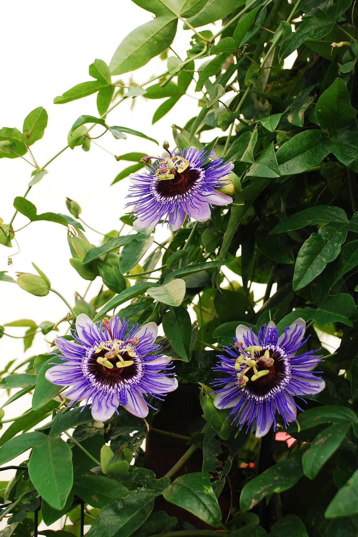 Specializing In Rare And Unusual Annual And Perennial Plants Including Cottage Garden Heirlooms And Hard T Passion Fruit Flower Flowering Vines Passion Flower