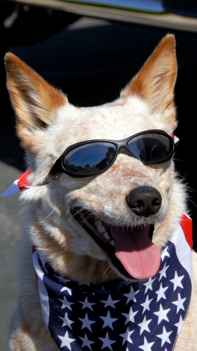 Dog With American Flag Bandana Sunglasses American Dog Aussie