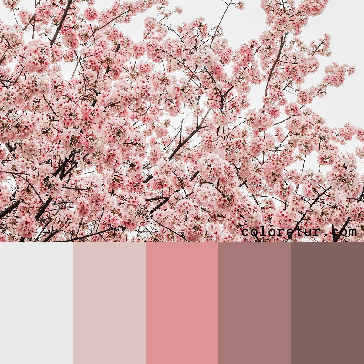 Cherry Blossom A Light Fresh Color Palette Based On The Japanese Cherry Blossoms Color Palette Pink Fresh Color Palette Color Schemes Colour Palettes