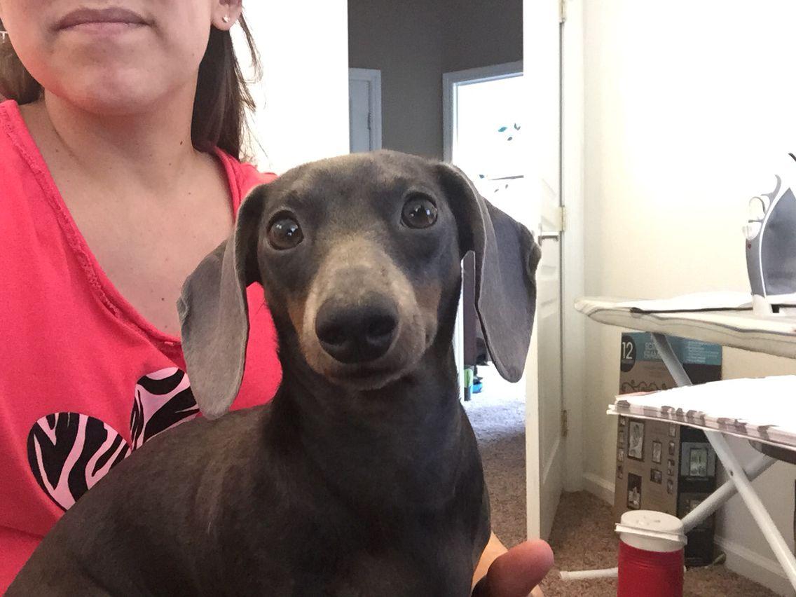 Curious little bella dachshund miniature blue tan