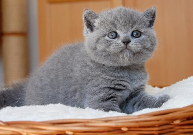 British Blue Cats Fluffy Adorable British Blue Cat Cats Blue Cats