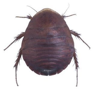 Insects That Look Like Bed Bugs