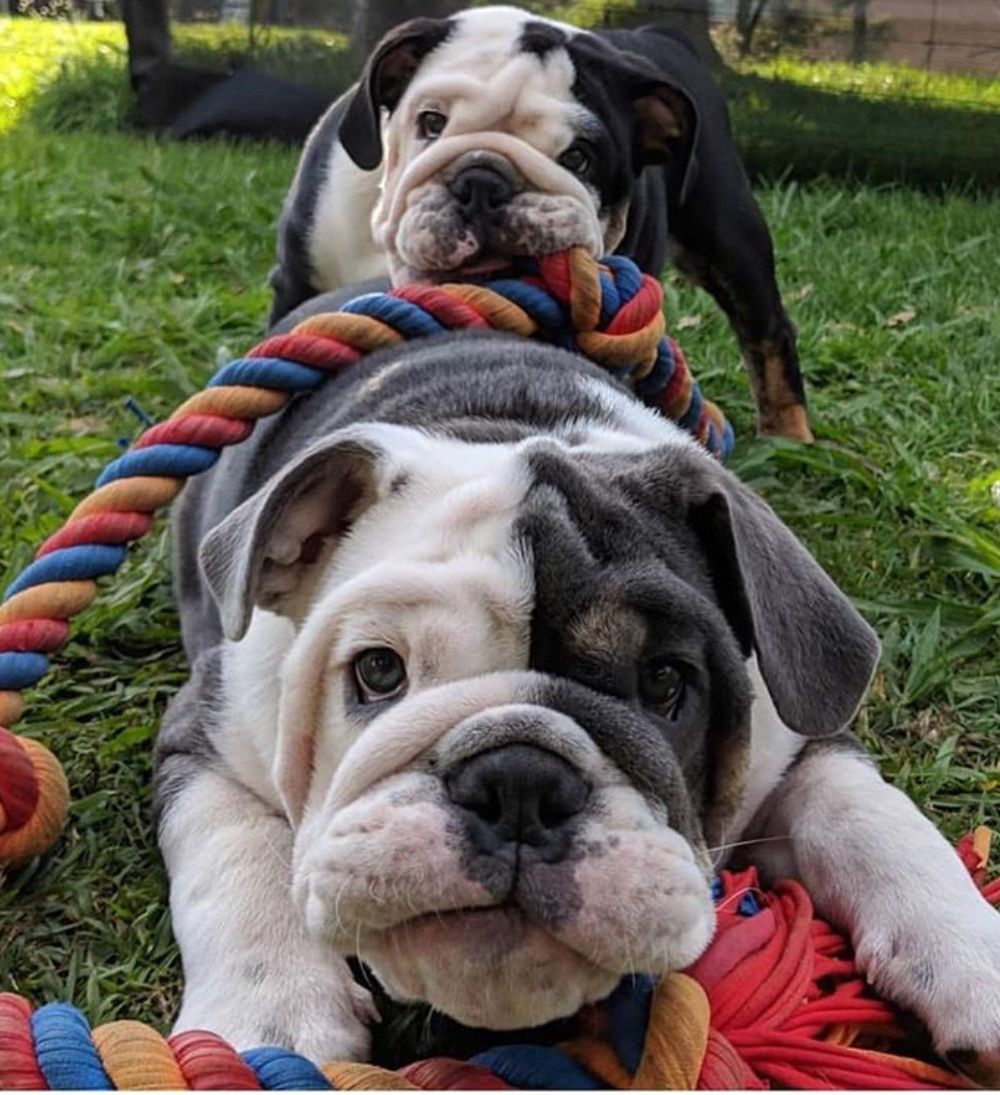 Theoriginalbulldogbalm Bulldog English Bulldog Puppies