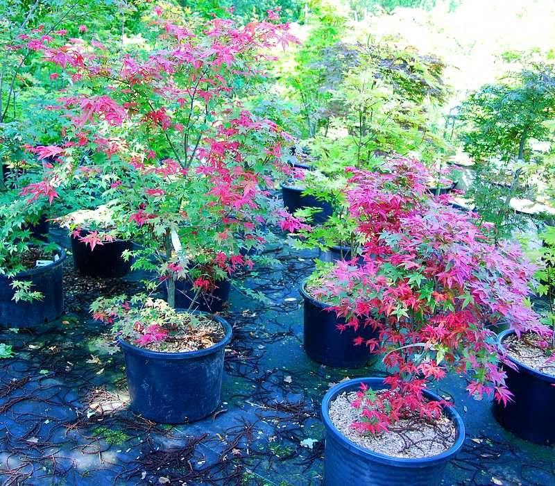 foto de Plantes Oasis : vente Erable du Japon shindeshojo Acer