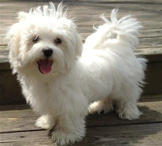 Buy & Sell MALTESE puppies online https//www