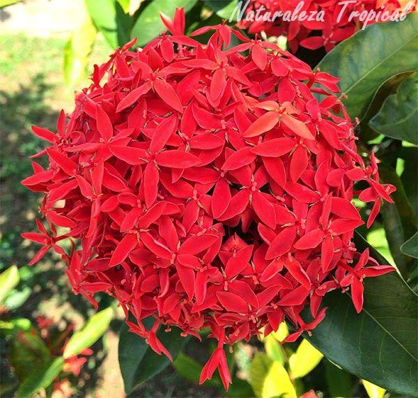 Racimo de flores de una planta del g nero ixora pink for Una planta ornamental
