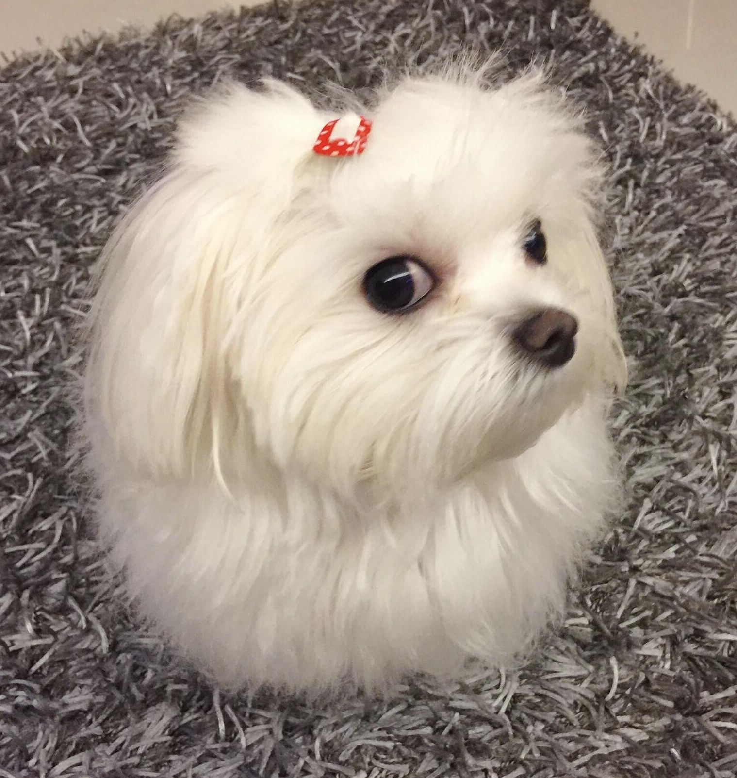 This Is The Evil Eye Maltese Style Maltese Dogs Teacup