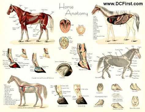 Horse anatomy posters; is it nerdy that I actually really want these ...