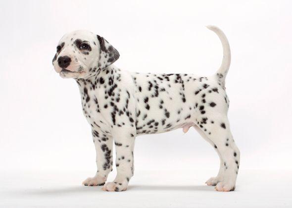 Survey 15 Dog Breeds New Pet Owners Should Avoid Dalmatian