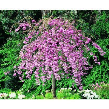 Kiku Shidare Zakura Cheal S Weeping Cherry Bare Root Flowering Cherry Homebase Blumen Baum