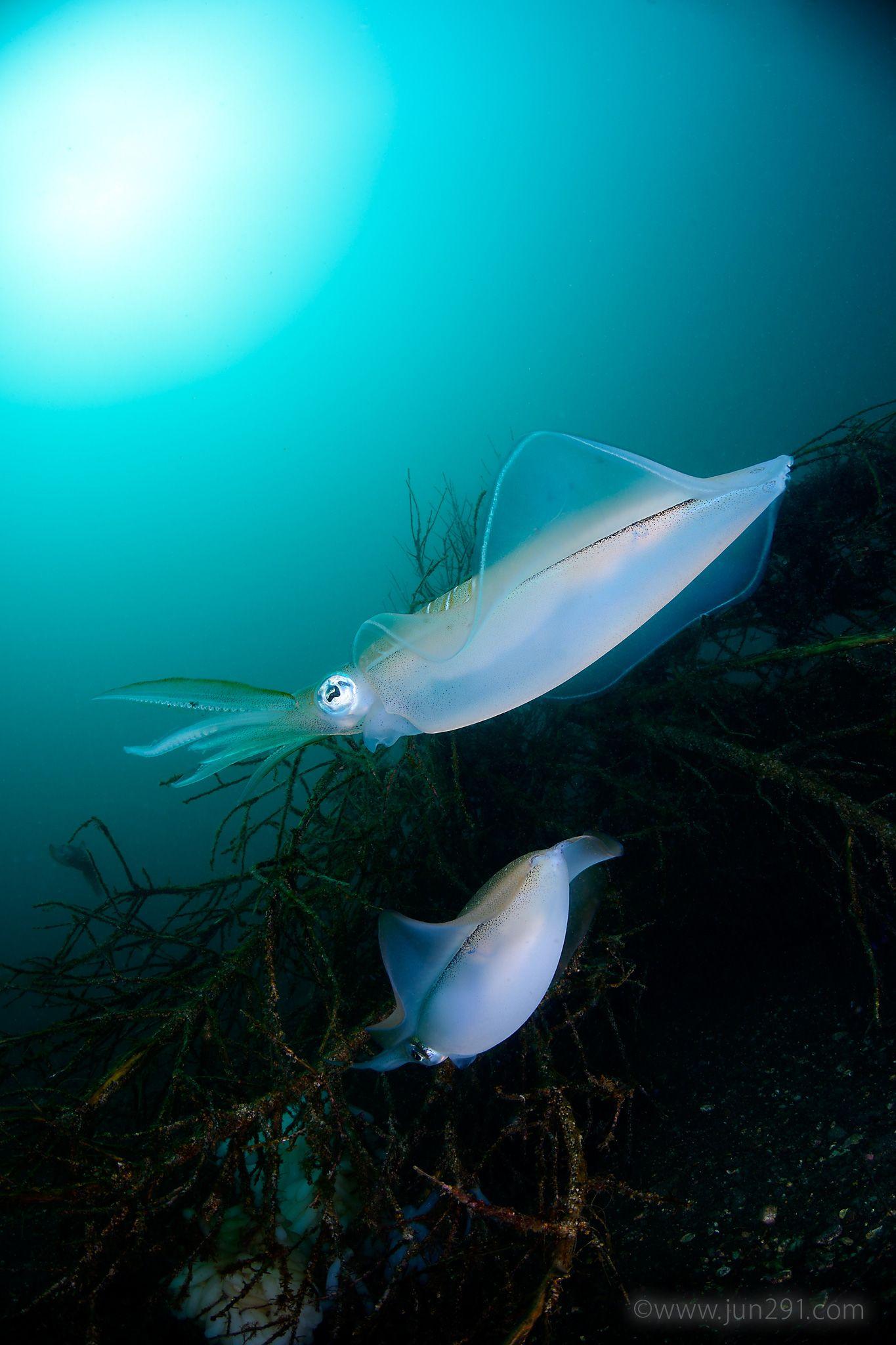 Bigfin Reef Squid (Sepioteuthis lessoniana) アオリイカ Futo, Shizuoka, Japan