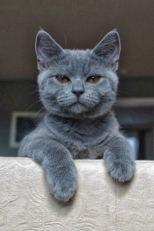 Cat Of The Day What More To Say Other Than We Just Love Cool Stuff Cute Animals Russian Blue Cat Cat Facts