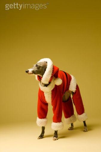 d8895e229530e The dog wears Father Christmas s clothes.
