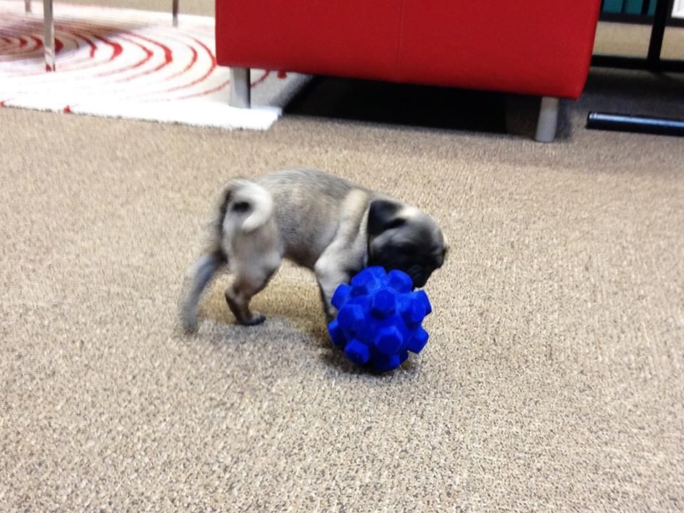 Lulu Playing With A Large Hex Sprong At The R2ppet Office Pug