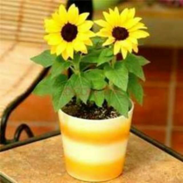 Pictures Of Sunflowers And Sunflower Pots Come From America And Have A Variety Here We Discuss Je Dwarf Sunflowers Bonsai Seeds Mini Plants