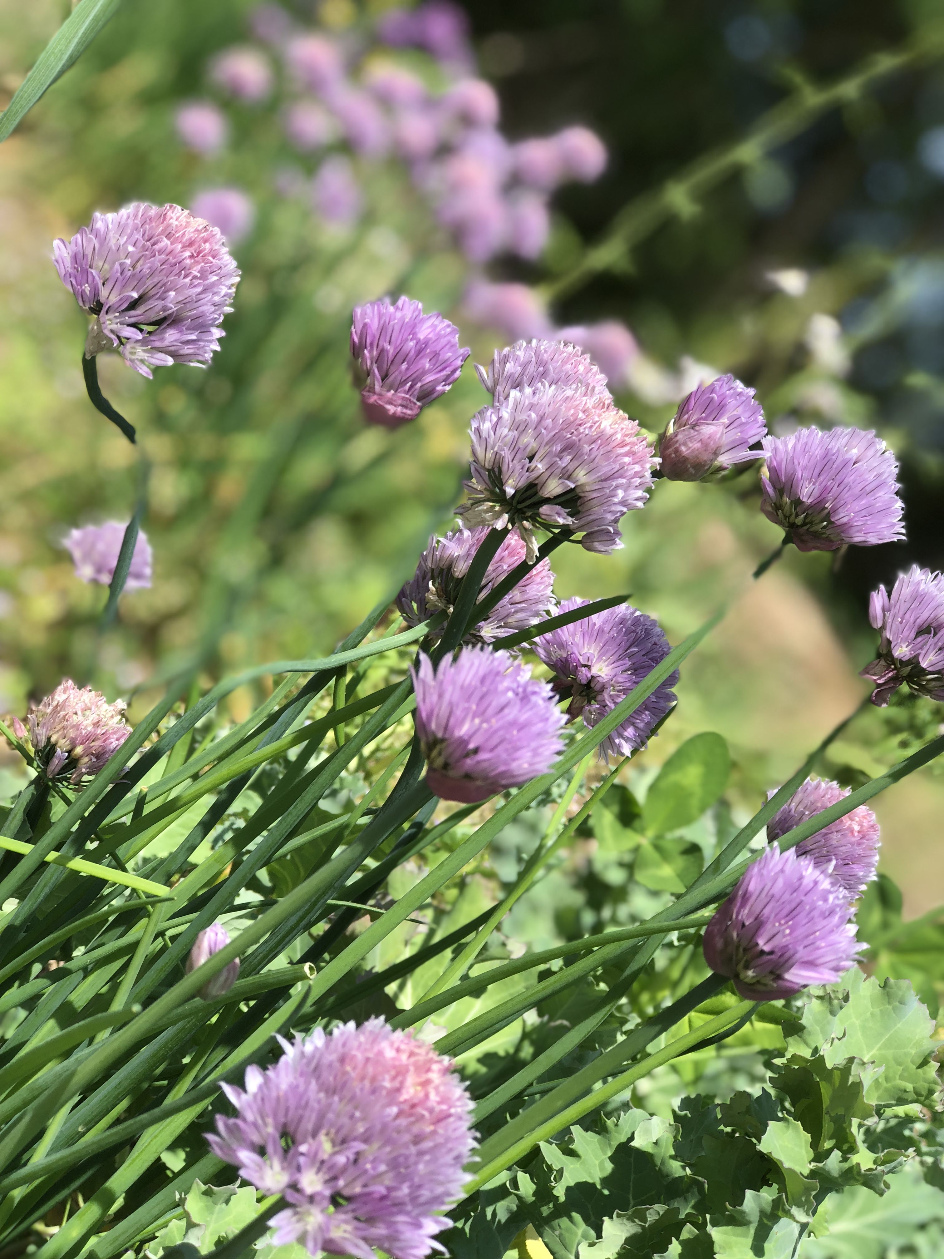 Chives in the herb garden at Me & McGee Market https//www