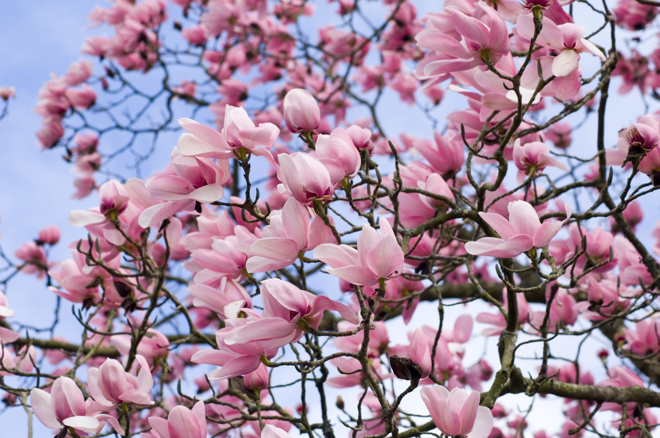 When Is The Best Time To Prune Magnolia Trees Magnolia Trees Jane Magnolia Tree Garden Trees