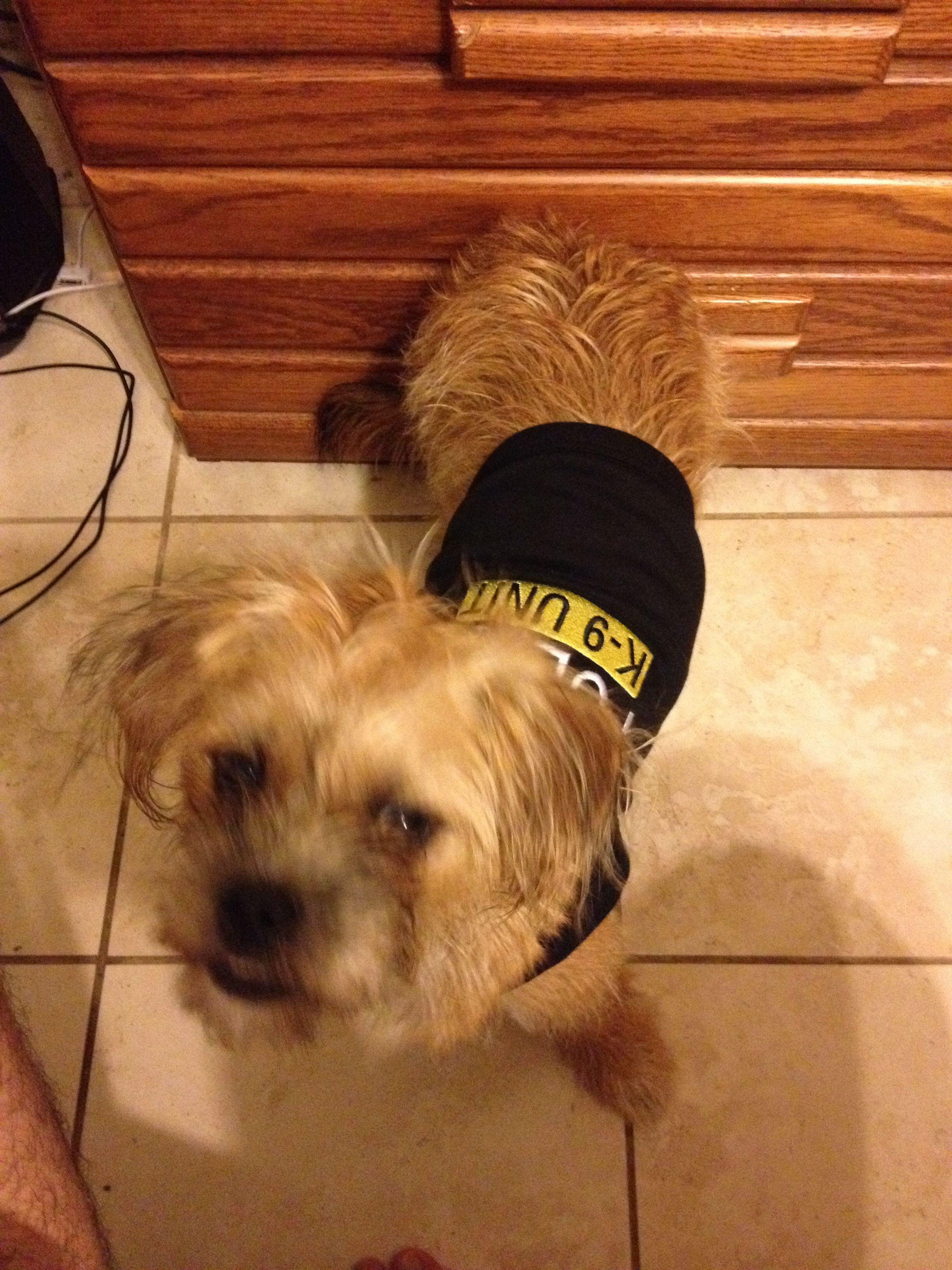 My dog thinks she's a badass so we got her a shirt she's officially a police k9 unit dog lmfao