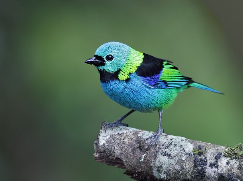 "kick0a0cat: "" sixpenceee: ""This green headed tanager has a lot of vibrant colors. Photo credit. "" The green headed teenager """
