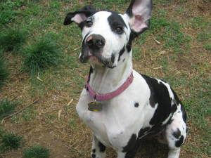 Adopt Bella On Great Dane Dogs Great Dane Funny Great Dane Facts