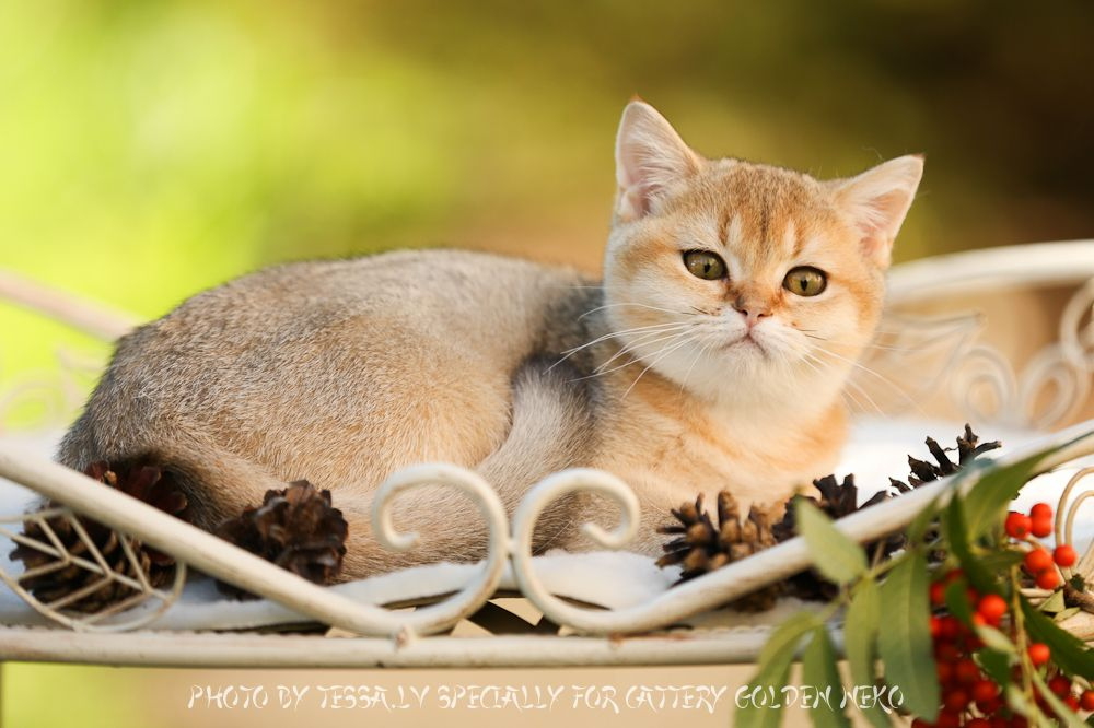 Kittens For Sale Purchase British Shorthair Blue Golden Golden Chinchilla Amber Golden Shaded Healthy High Quality Kittens With Kittens Cattery Cat Pics