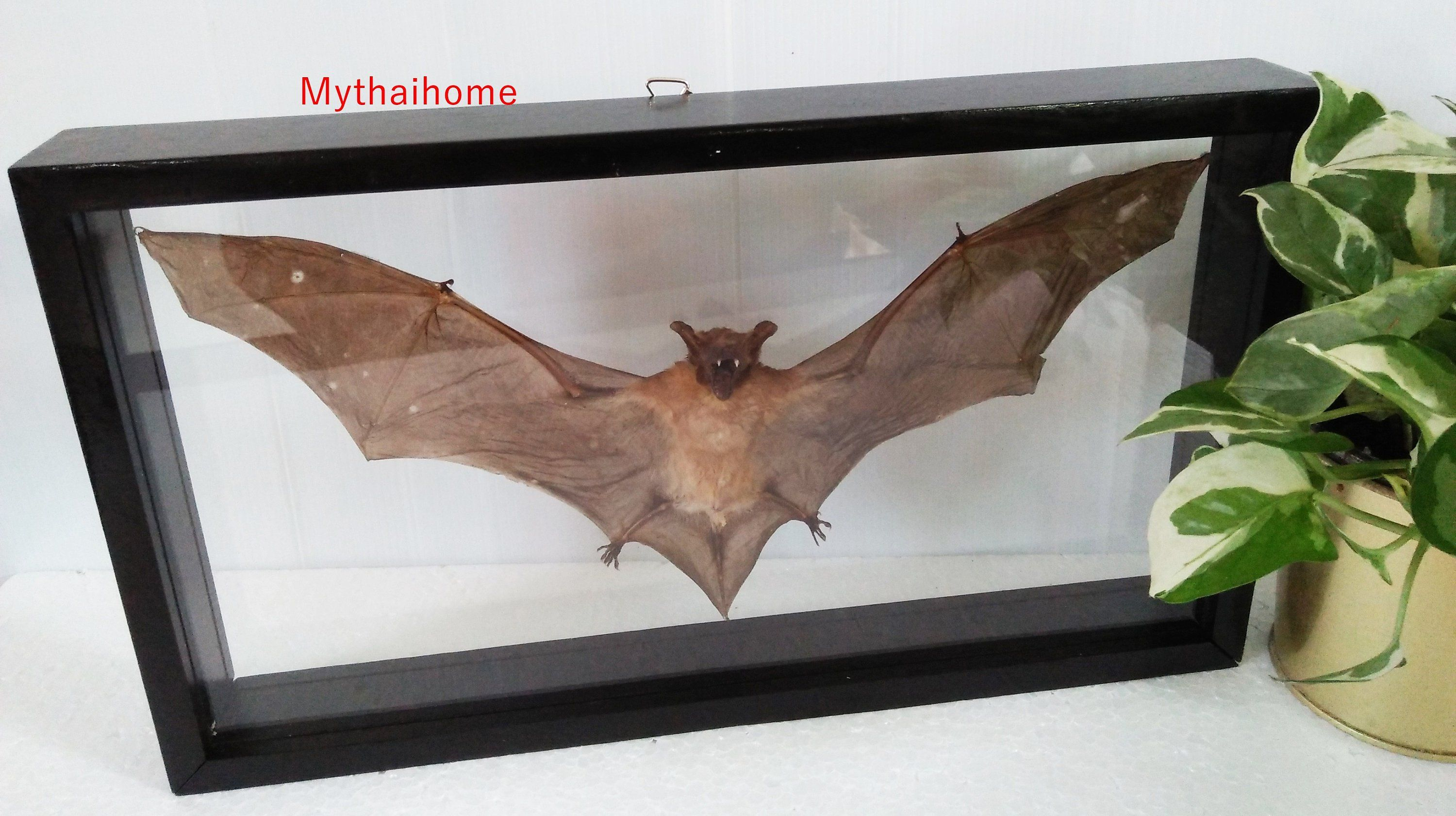 Real Collection Specimen Hairless Horseshoe Taxidermy Bat Framed Display Wooden In A Box Insect Bug Double Gl Gift Mounted Wall Art Decor By Mythaihome
