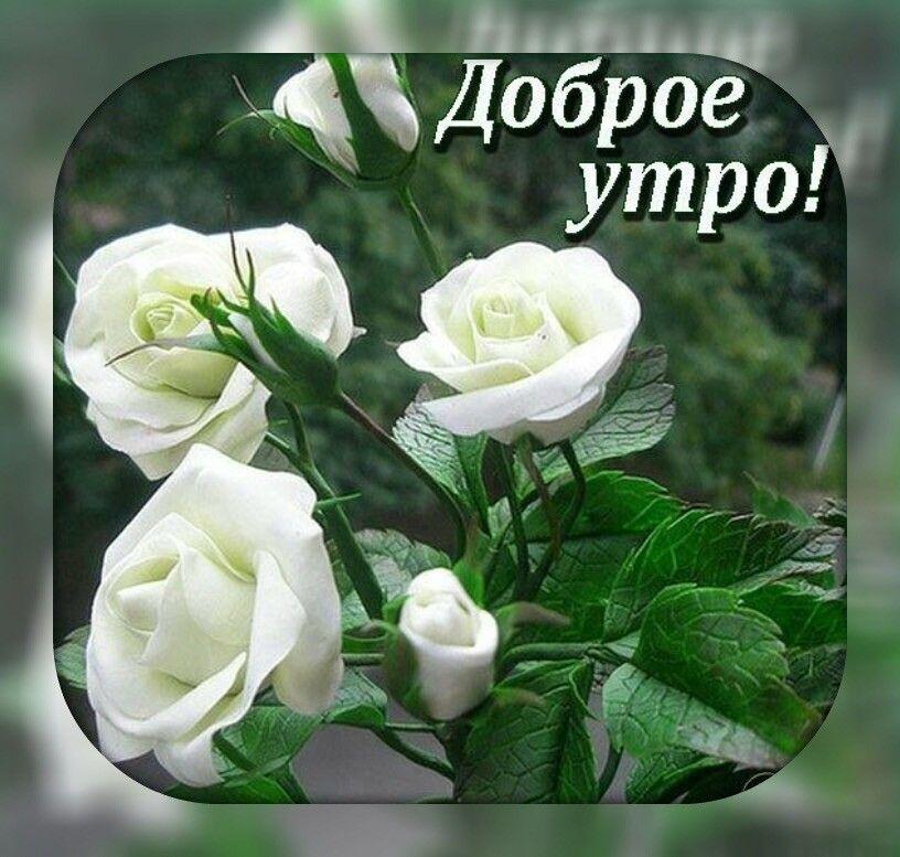 Кораблик, пожелания с добрым утром женщине в картинках с белыми розами