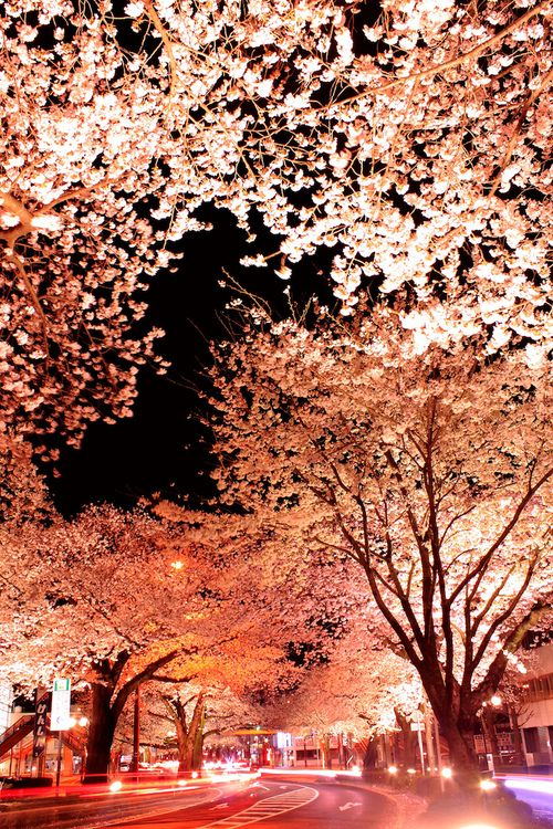 Long Exposures Photos Of Japan Cherry Blossoms By Arixxx We Often See Photos Of The Fascinating Long Exposure Photos Cherry Blossom Pictures Japanese Cherry