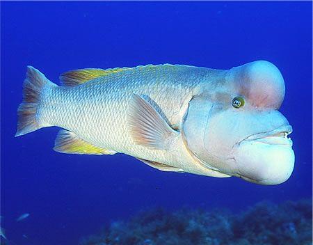 月刊 マリンダイビング 公式ブログ 時には激しい戦いも コブダイ が産卵シーズンに突入 佐渡島 コブダイ 海水魚 魚