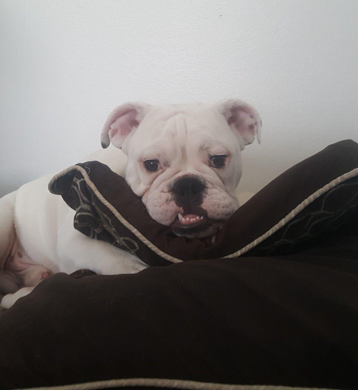 Old English Bulldog Glasgow Lanarkshire Pets4homes English