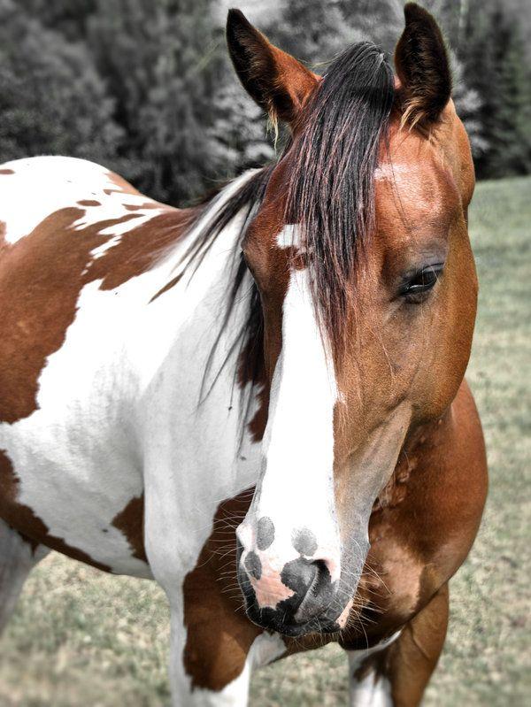 Pinto Horse Pinto Horse Wallpaper Pinto