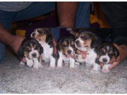 250 Adorable Akc Beagles Beagle Beagle Puppy Dogs For Sale