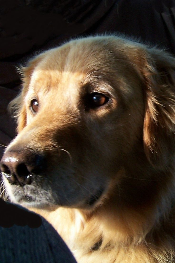 Golden Retriever Temperament And Personality Click The Picture To